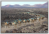 Seventy Eight camels forming the train from Timanfaya National Park to Uga camel sheds 19th November 2010