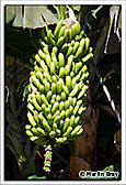 La Palma, Banana Plant, 7th September 2013